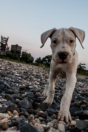 Dogo Puppy