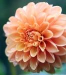 peach-rose