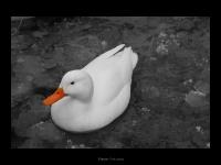 the-nice-duck